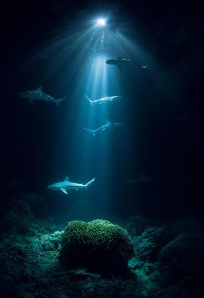 印度礁这座泻湖很可能为加拉巴哥幼鲨提供了安全的避风港,在它们准备好面对开放海域的重重挑战前,保护它们不受成年鲨鱼捕食。 Photograph by Thomas