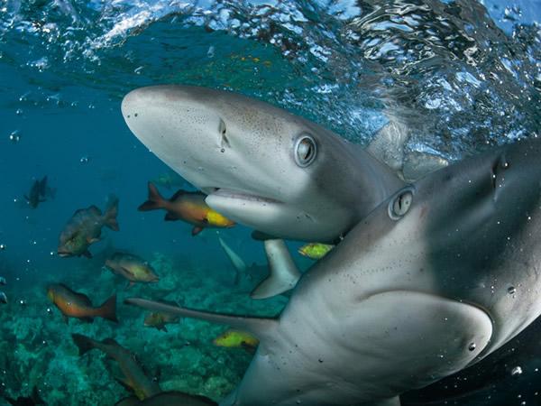 印度礁泻湖里的加拉巴哥幼鲨以鼻子碰触相机。汤玛斯.帕斯查克说,两座环礁相对未受人类干扰的礁石是海洋生态的基准点。 「在印度洋的其他地方,我看到的都是相对于这里它