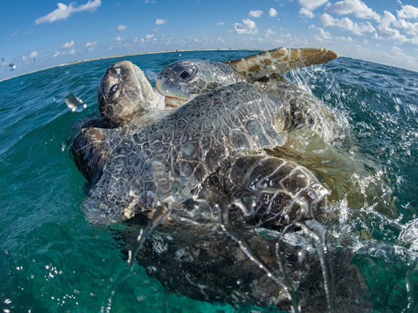 欧罗帕岛绿蠵龟求爱时会互相碰撞及啃咬(上),接着是可能持续数小时的交配(下),交配时,公龟以鳍肢与尾巴攀附在母龟的背甲上。在绿蠵龟的世界里杂交盛行,被荷尔蒙支配