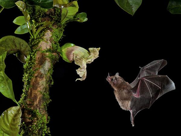 这朵花的形状与暴露的生长位置都是为了迎合蝙蝠的耳朵。 Photograph by Merlin D. Tuttle