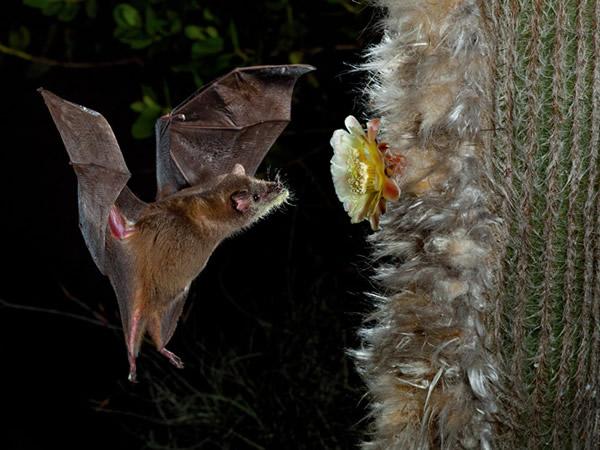 具有消音效果的背景增强了这朵花的回音。随着荒野渐渐消失、植物愈来愈孤立,吸蜜蝙蝠的价值就浮现了:有些蝙蝠每晚可载运花粉飞越50公里。 Photograph by