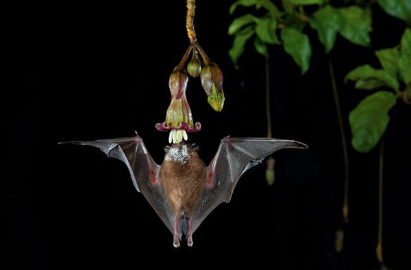 这朵光滑的钟形花反射回音,吸引一只身上布满花粉的蝙蝠从下方直飞上来。 Photograph by Merlin D. Tuttle
