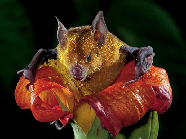 一只身上沾满花粉的蝙蝠从一棵高红槿树的花里爬出来,显示出毛皮可以携带多少花粉。这只蝙蝠生活在古巴东部一个有超过100万只蝙蝠的群落──堪称授粉者的大本营。 Ph