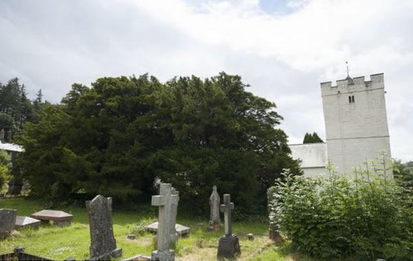 英国墓地发现最老紫衫 树龄至少5000岁