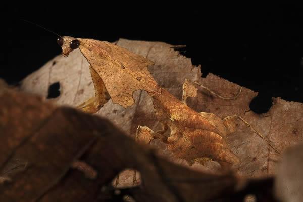 昆虫伪装大师:模拟树叶的行为可以追溯到恐龙时期