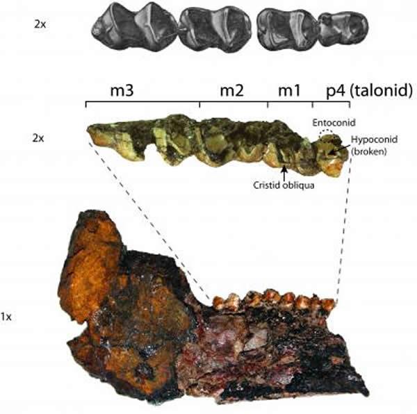 Heptodon的牙齿和下颌化石