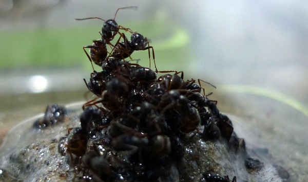 蚂蚁搭建浮筏护送蚁后?