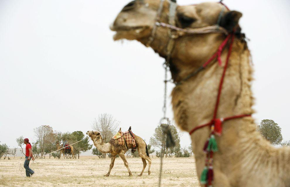 在以色列境内接近内盖夫沙漠与犹大沙漠的地方,贝都因人带着骆驼参加一场文化庆典。