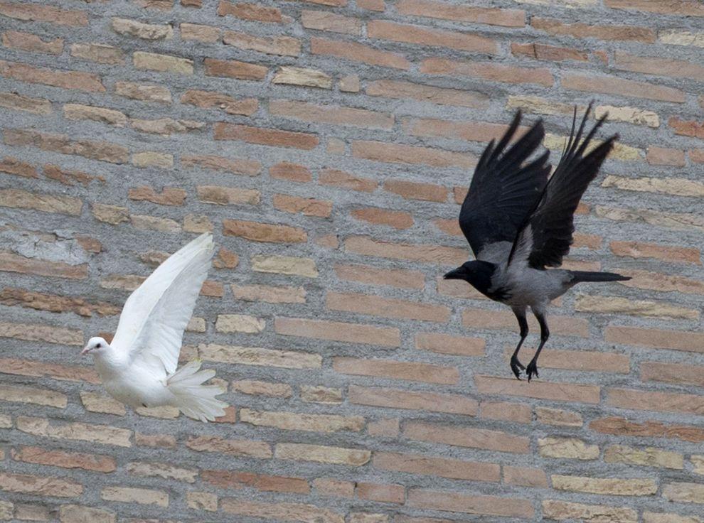 为何罗马的和平鸽遭到其他鸟类攻击?