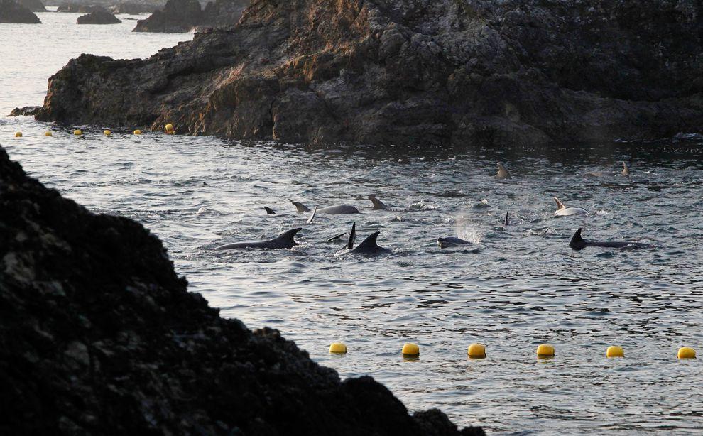 日本太地町真正的悲剧:持续发生的捕捉与屠杀海豚行为