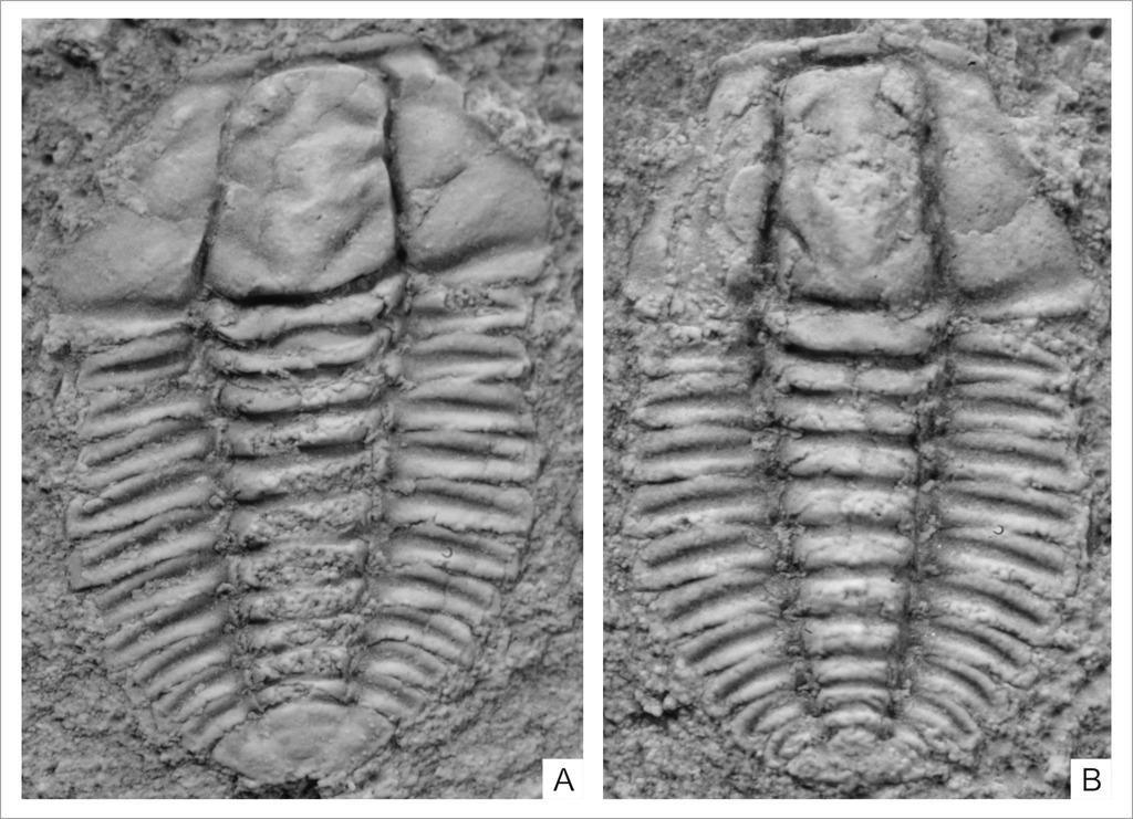 卵形湖南头虫化石代表
