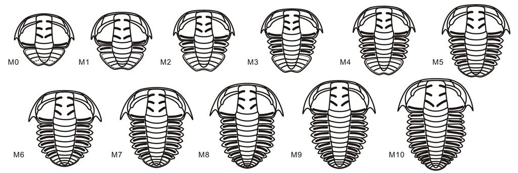 卵形湖南头虫发育序列复原图