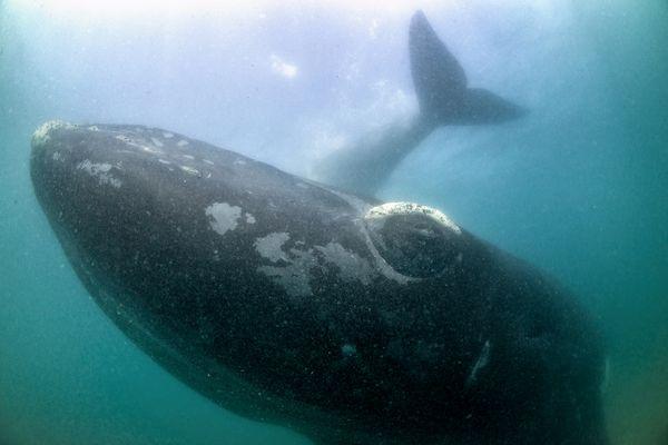 令人赞叹的南露脊鲸照片
