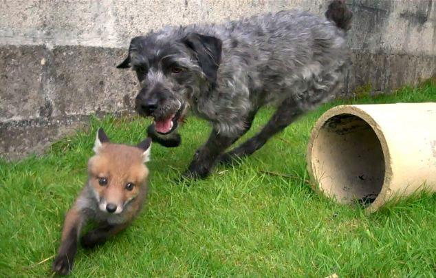英国狐狸和猎犬成为挚友