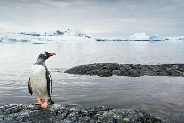 南极洲经历过的一段降温时期,可能有助企鹅分化成现今存在的众多种类,例如图中的巴布亚企鹅。摄影:Paul Souders, Corbis