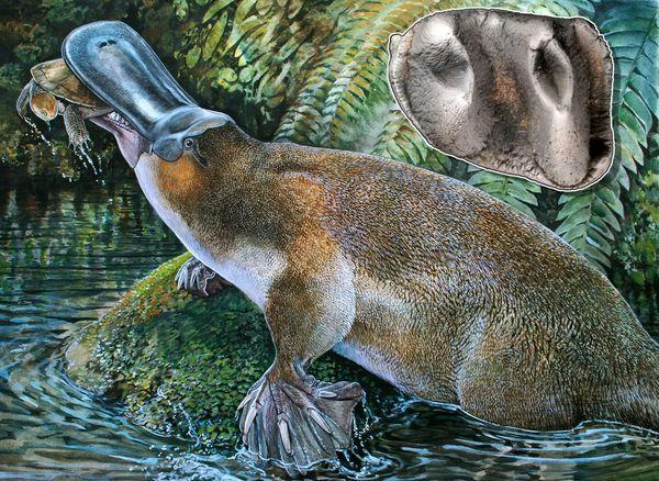 这只生活在新生代中期至晚期的巨齿鸭嘴兽拥有强大的牙齿,可以杀死肺鱼甚至是小型乌龟之类的猎物。 (内嵌图:第一颗下臼齿的全模标本)重建: Peter Schout