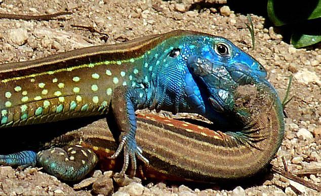 委内瑞拉亨利皮蒂尔国家公园热带雨林里两只蜥蜴互相亲吻