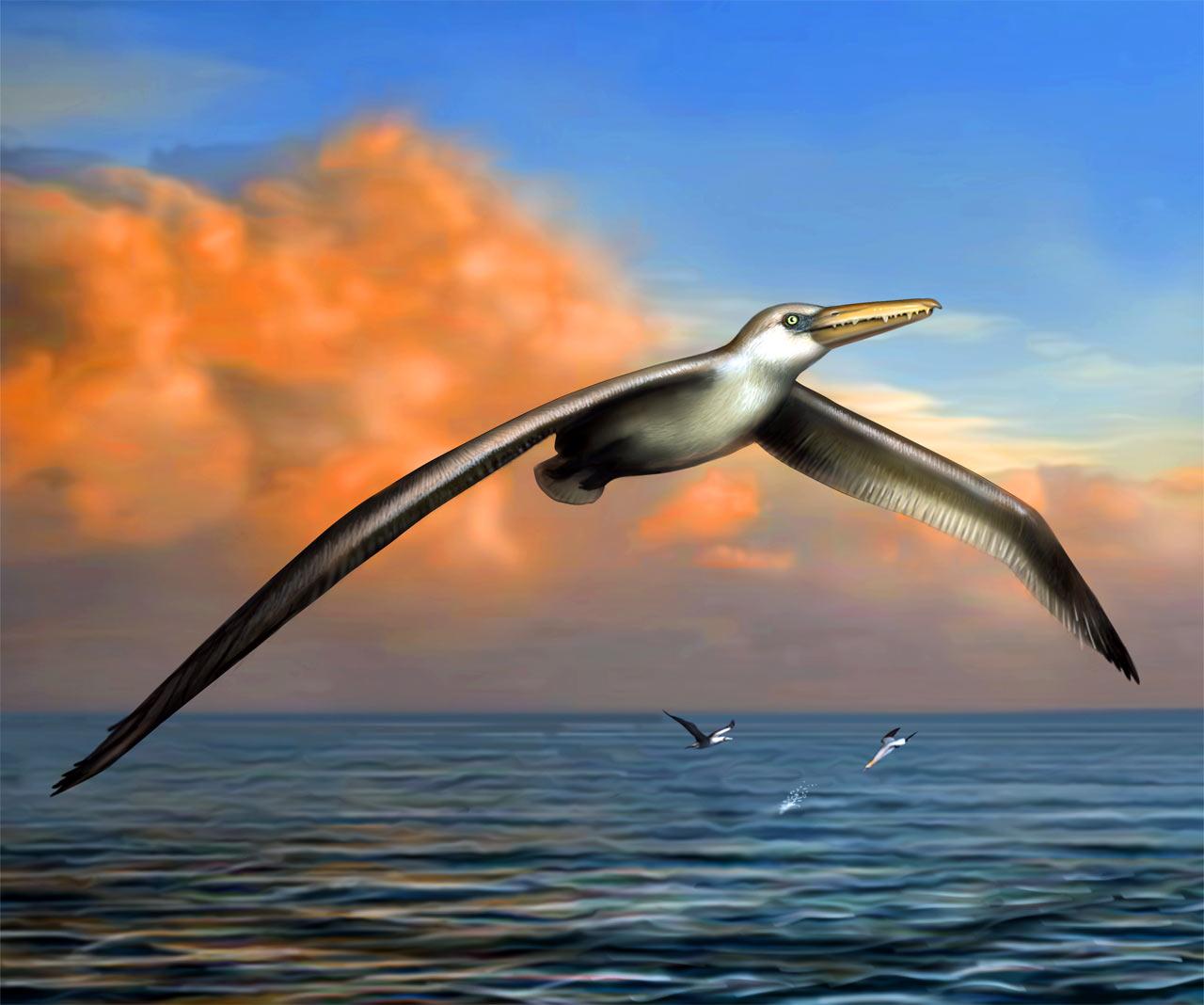 最大的飞行海鸟出现在2500万年前——桑氏伪齿鸟Pelagornis sandersi复原图