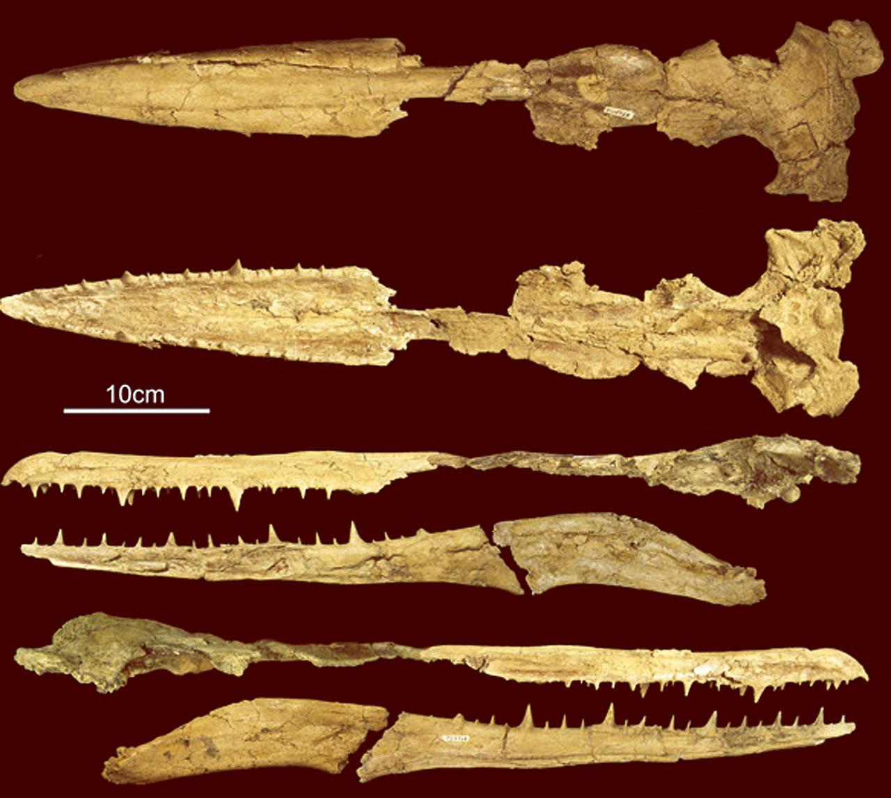 最大的飞行海鸟出现在2500万年前——桑氏伪齿鸟Pelagornis sandersi化石