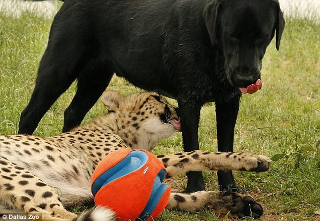 美国达拉斯动物园为拉布拉多犬和猎豹庆祝一岁生日