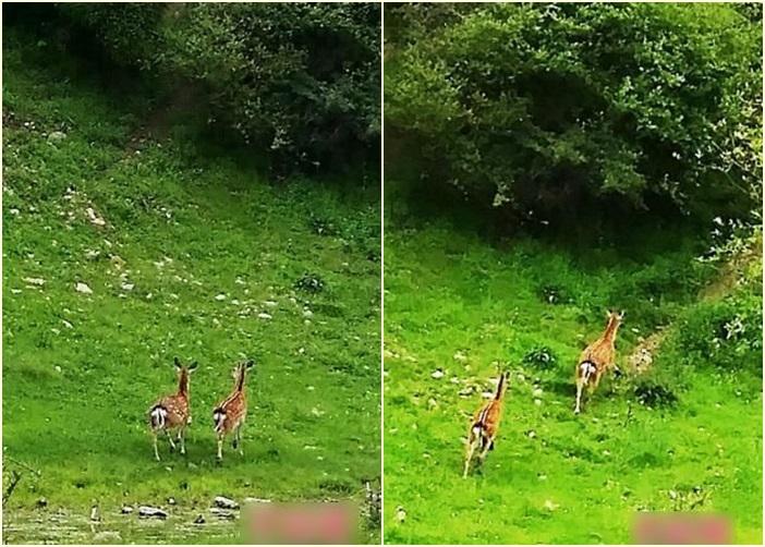 记者在四川松潘县毛尔盖地区巧遇两只雌性梅花鹿在路边草地上觅食