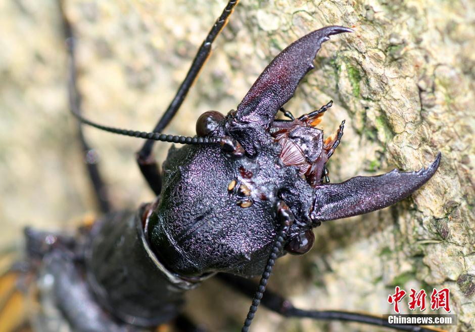 四川发现世界最大水栖昆虫——越中巨齿蛉
