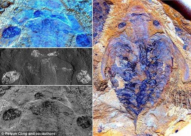 澄江化石群中的奇虾为节肢动物起源及其头部分节的演化研究提供证据