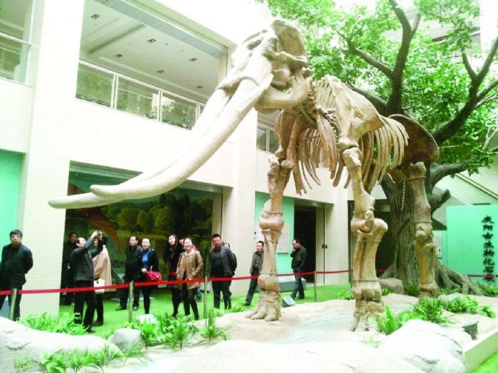 庆阳市博物馆陈列的黄河古象模型。窦洁供图