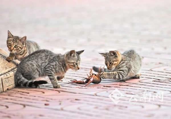 昆明一河边小龙虾吓退3只猫