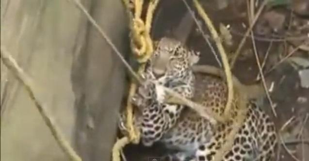 村民用绳索绑着花豹,尝试将它救起。