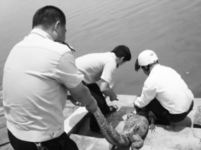 国家一级保护野生动物扬子鳄偷吃田中鸭 安徽村民一怒将其捆回家