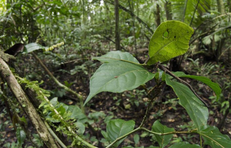 """厄瓜多尔亚苏尼国家公园昆虫""""纺织娘""""伪装成枯叶"""