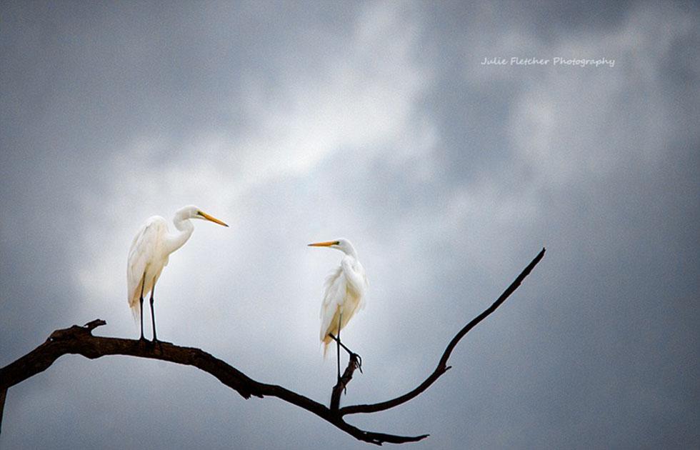 两只栖息在枝头上的苍鹭