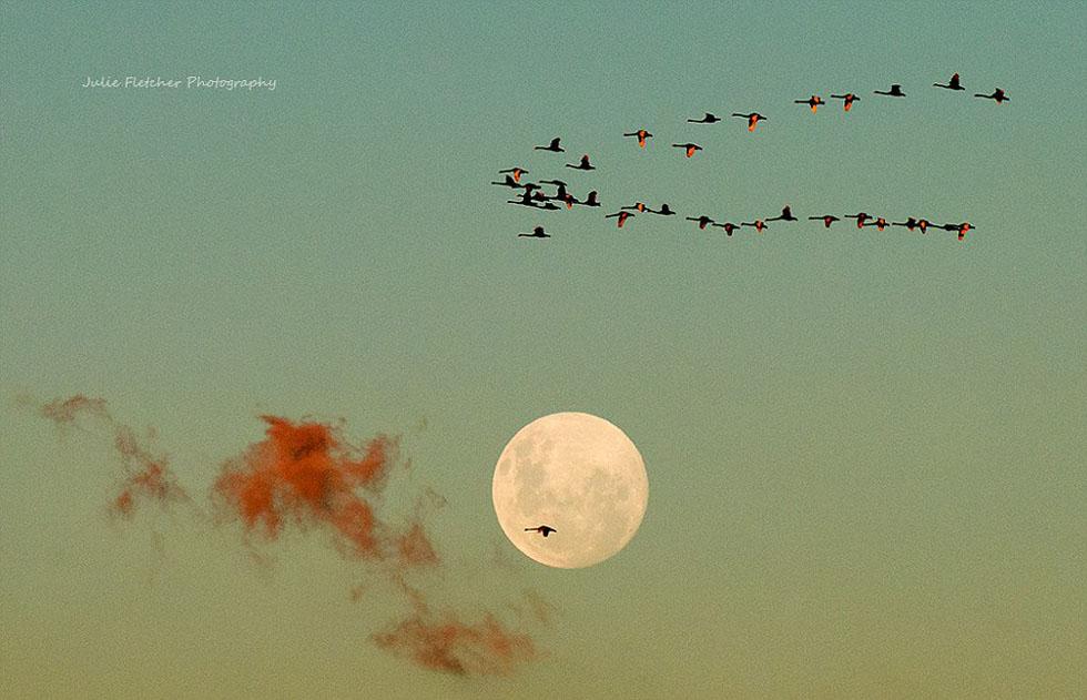 飞过林德斯山脉的一群黑天鹅