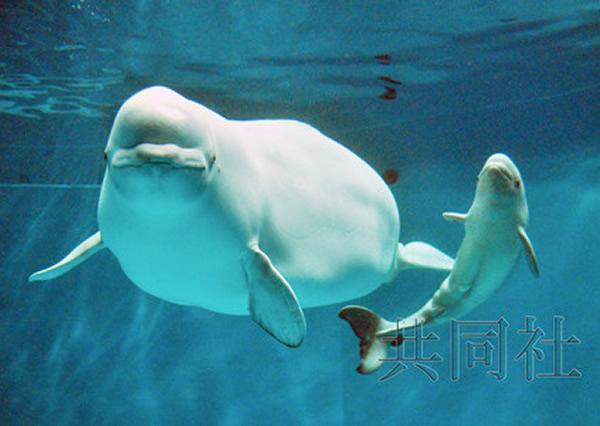 """日本岛根县滨田市的县立岛根海洋馆雌性白海豚""""ARYA""""产下一头雌性宝宝"""