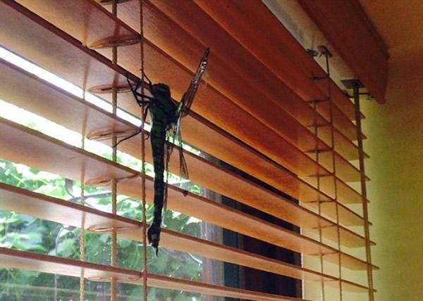 英国民宅飞入长达20厘米巨型蜻蜓