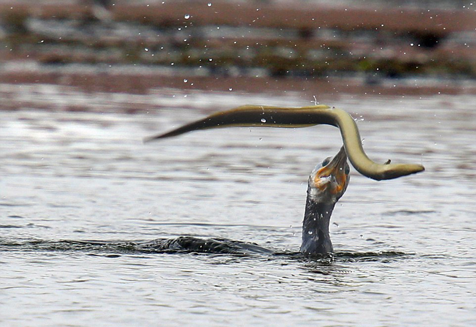 英国一只鸬鹚捕食鳗鱼反被缠住嘴巴