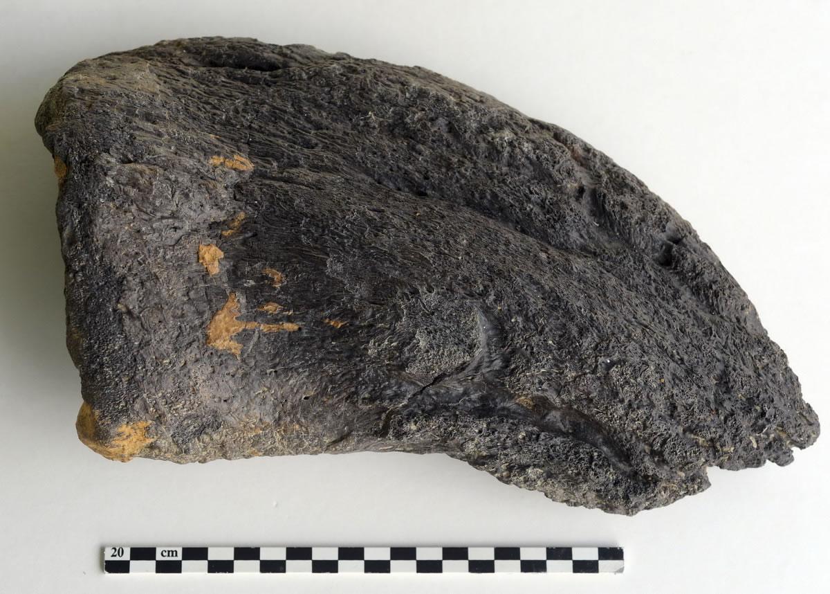 7月29日在法国昂雅克-夏朗德拍摄的恐龙趾骨化石