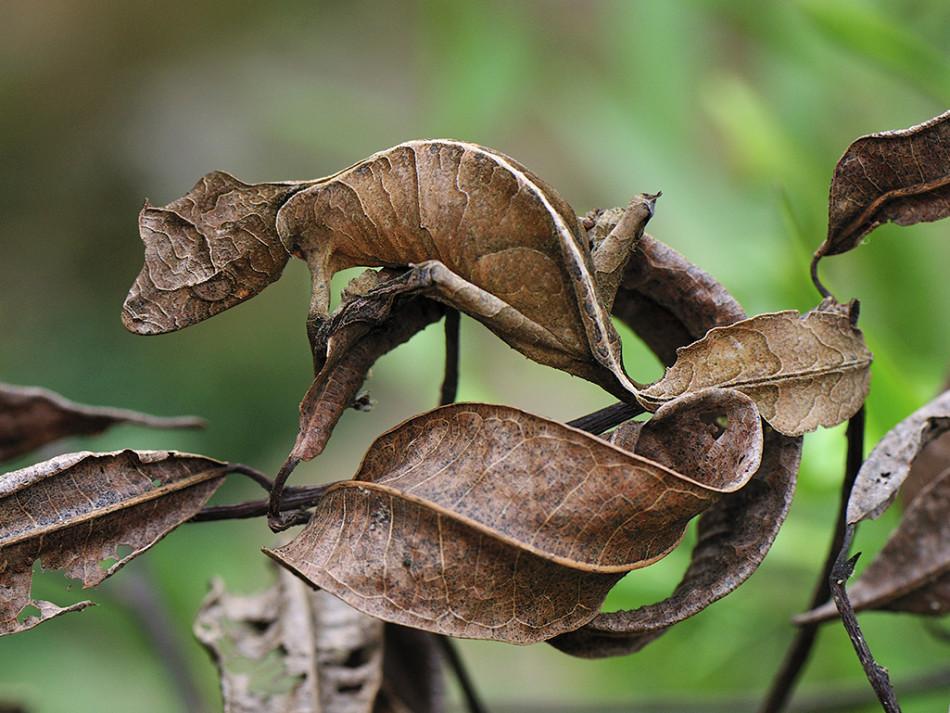 在只有3到5年的生命中,角叶尾守宫完美地模拟了枯叶的形态。