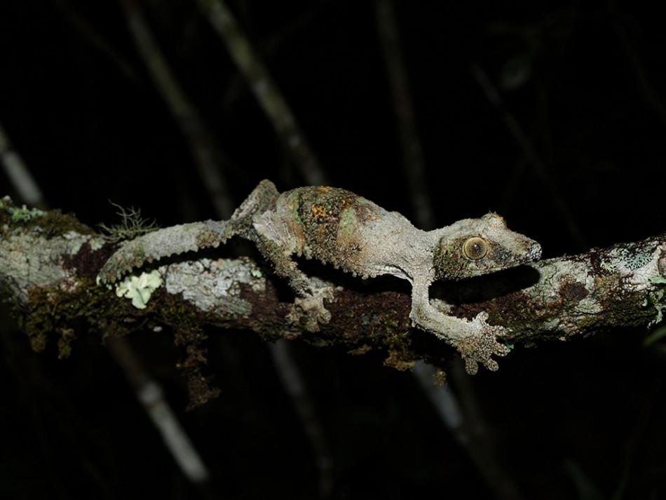 地衣叶尾守宫的体表颜色和质地与树枝上的地衣极其相似。