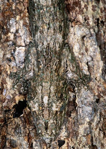 一些叶尾守宫选择伪装成树干的一部分。你能找出图中的守宫吗?