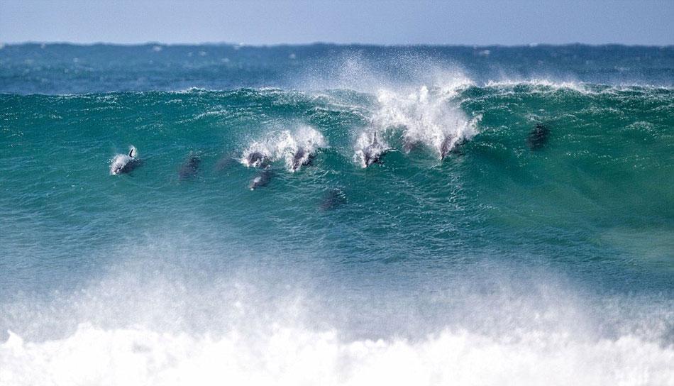 如果你能追上他们那就追吧!众所周知,海豚们很喜欢在野生环境中嬉戏,比如它们喜欢跃出到水面,能越多高就越多高。