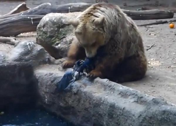 匈牙利布达佩斯动物园灰熊表现爱心拯救遇溺乌鸦