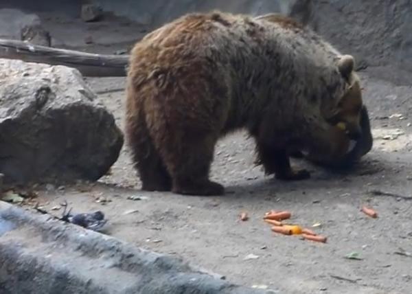 灰熊瓦利救起乌鸦后,默默走到一旁吃水果。