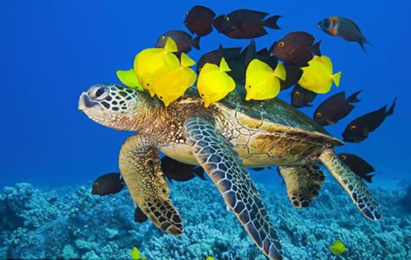 """夏威夷海底一群颜色鲜艳的小黄鱼为一只绿海龟进行""""清洗"""""""