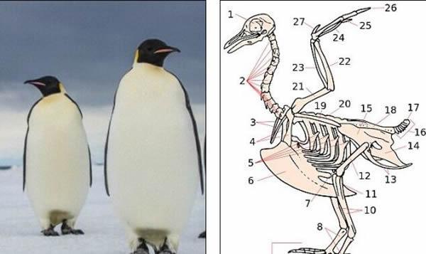 """这种被称之为卡氏古冠企鹅、绰号""""巨型企鹅""""的动物,是迄今为止发现的在已经灭绝或者现有企鹅中,体重最大的企鹅,它甚至比帝企鹅(左)更大。右图中,这张鸽子骨骼插图用"""