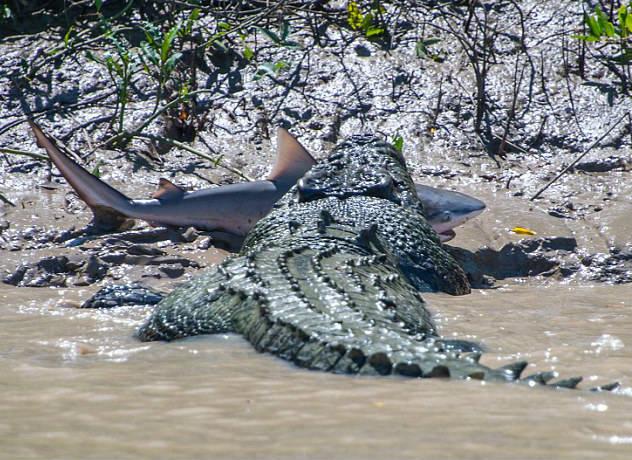 """澳洲老鳄鱼捕杀鲨鱼报""""失腿之仇"""""""