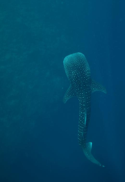 红海出现一只中型巴士大小的、出生不久的幼年鲸鲨