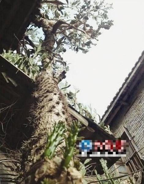 福建龙岩武平一棵巨型仙人掌汁液能医烫伤