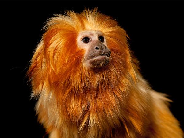 金獅狨(Leontopithecus rosalia rosalia)
